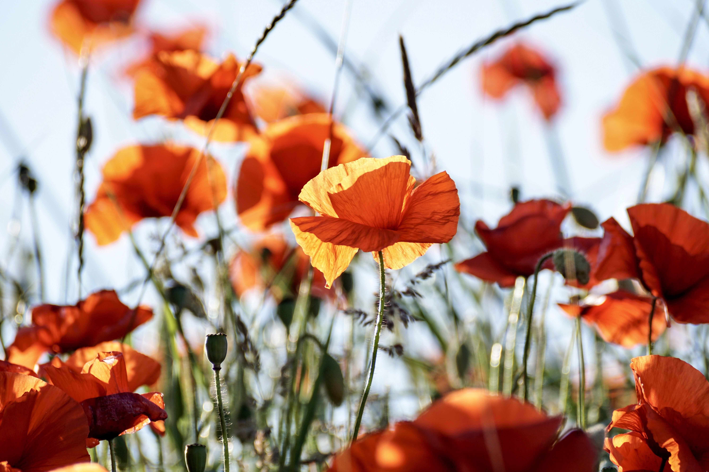 poppy-3581709